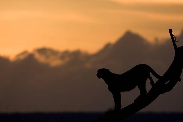 Cheetah silhouette picture id177383067?b=1&k=6&m=177383067&s=612x612&w=0&h=oaqujnmxg4r86fbf8lqig0qmtn2g8n29mmq49nyobfi=