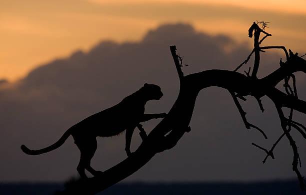 Cheetah silhouette picture id177385286?b=1&k=6&m=177385286&s=612x612&w=0&h=qhlb6jctudysbczlznk jsd5f0n21dhxfk2kfq7r4jg=