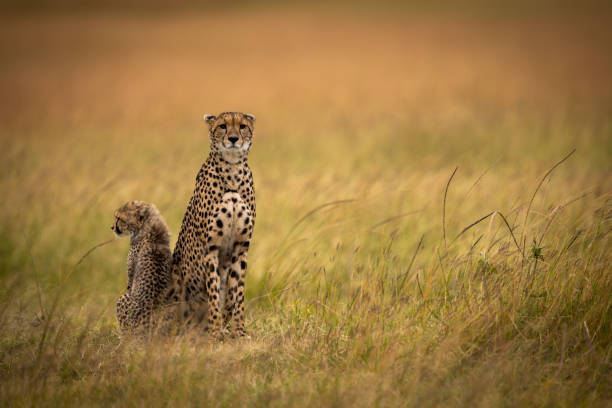 cheetah zit side-by-side met cub in grasland - jachtluipaardwelp stockfoto's en -beelden