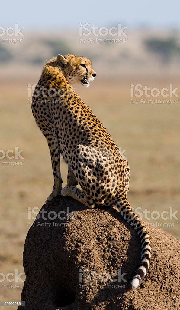 Cheetah sitting in the savanna stock photo