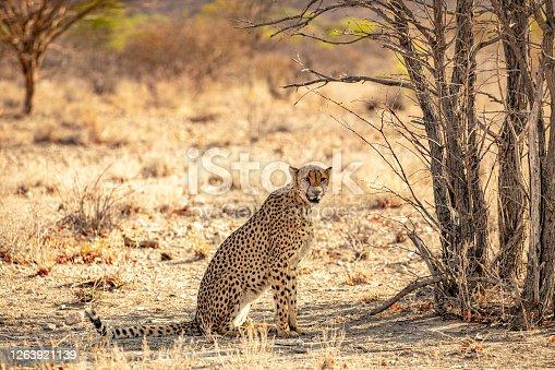 Cheetah (Acinonyx jubatus) sitting on ground on savannah