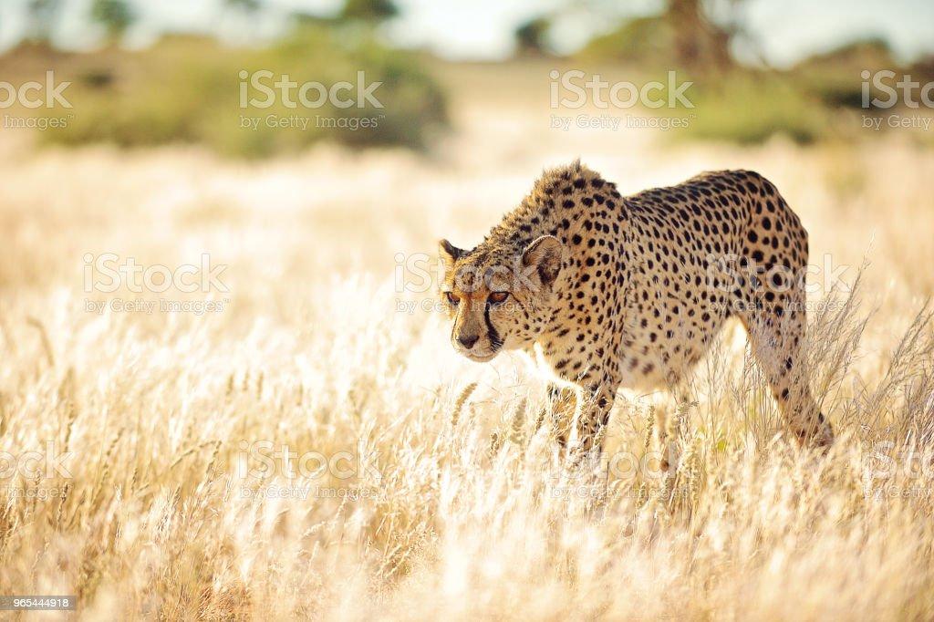 Cheetah slowly approaching in golden grass zbiór zdjęć royalty-free
