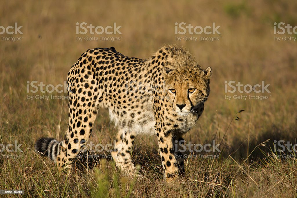 Cheetah stalking stock photo
