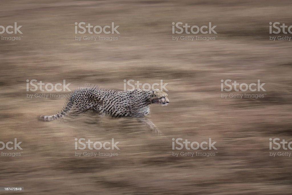 Cheetah acoso rapiña en movimiento - foto de stock