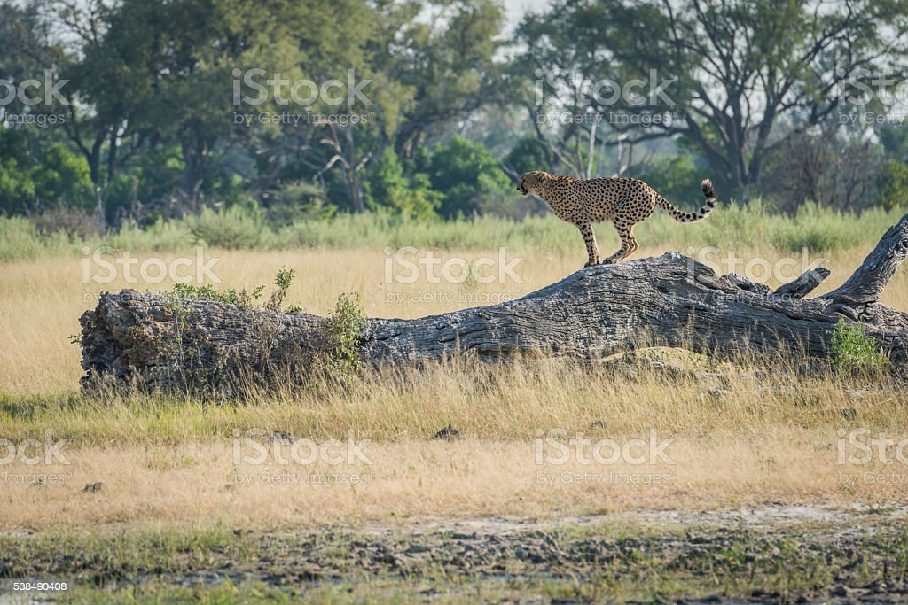 Cheetah standing on dead log in profile stock photo