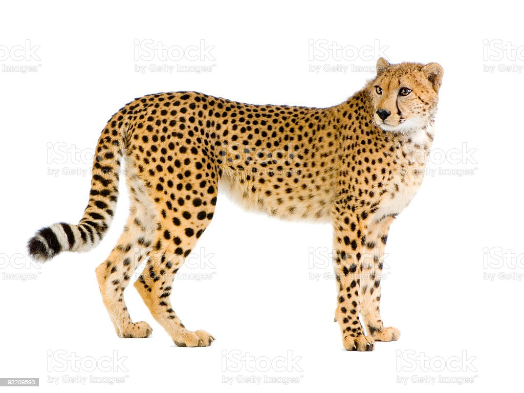 Cheetah de incorporarme - foto de stock