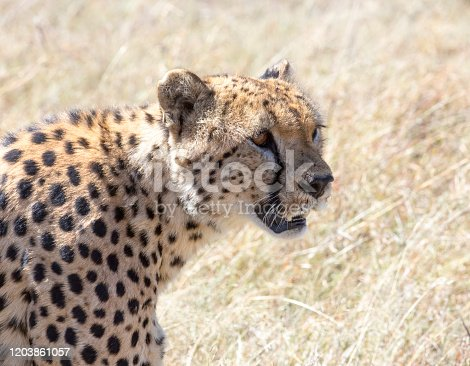 A close up of an adult Cheetah. Taken in Kenya
