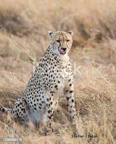 A cheetah in the grass. Taken in Kenya