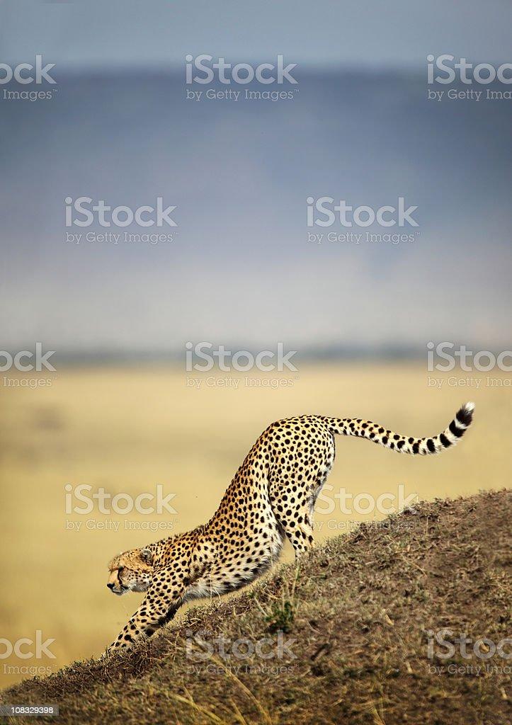 Cheetah stretching stock photo