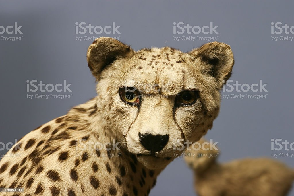 Cheetah looking at camera - stuffed animal
