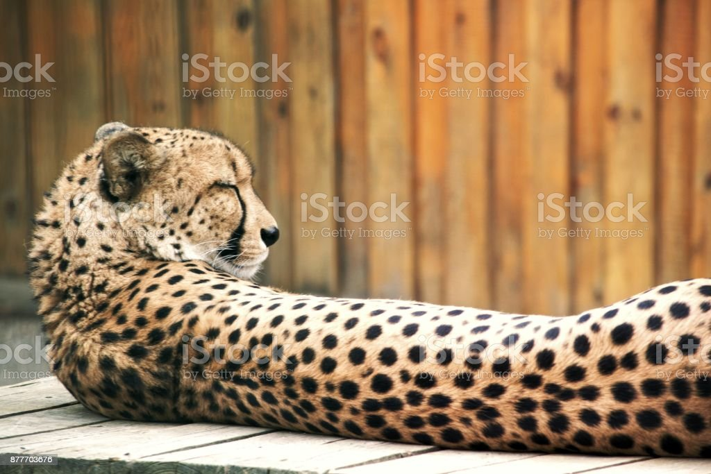Cheetah. The predatory mammal of the cat family, lives in the majority of the countries of Africa and also in the Middle East. stock photo