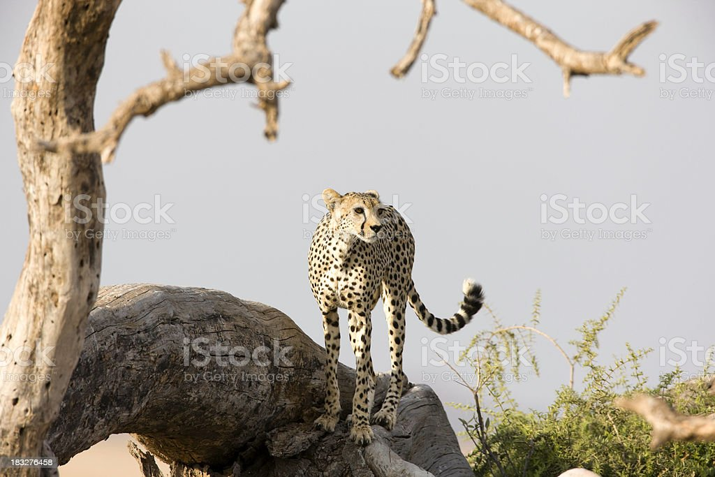 Cheetah Viewpoint stock photo