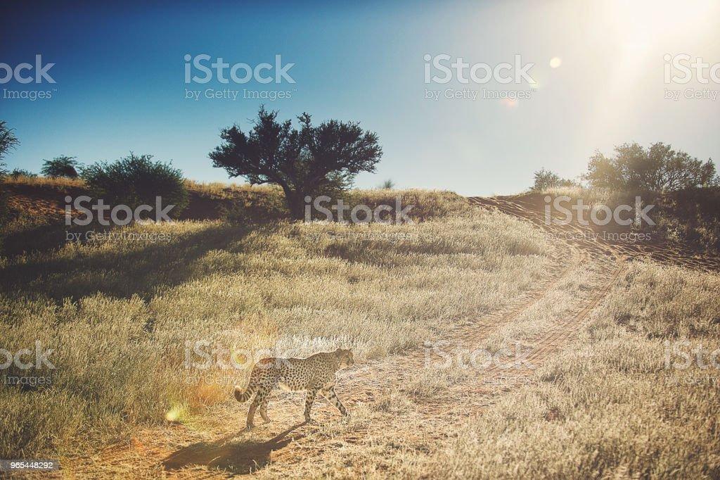 Cheetah walking golden grass zbiór zdjęć royalty-free