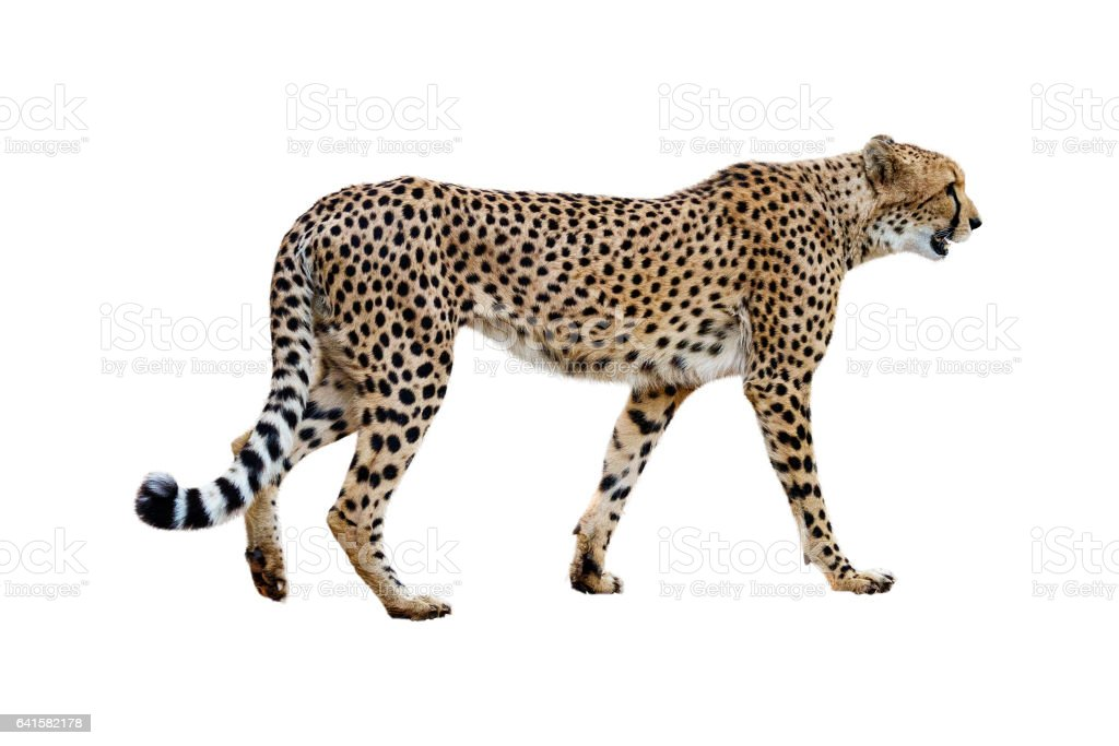 Cheetah Walking Profile Isolated on White - foto de stock