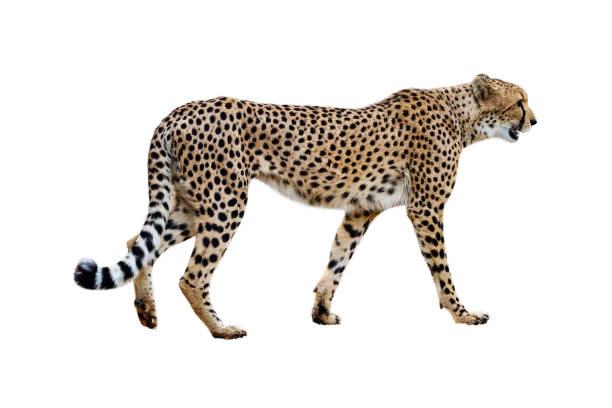 cheetah walking profile geïsoleerd op wit - jachtluipaard stockfoto's en -beelden