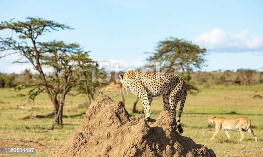 Cheetah on top of anthill warching lion passing by in Masai mara game reserve, Keanya