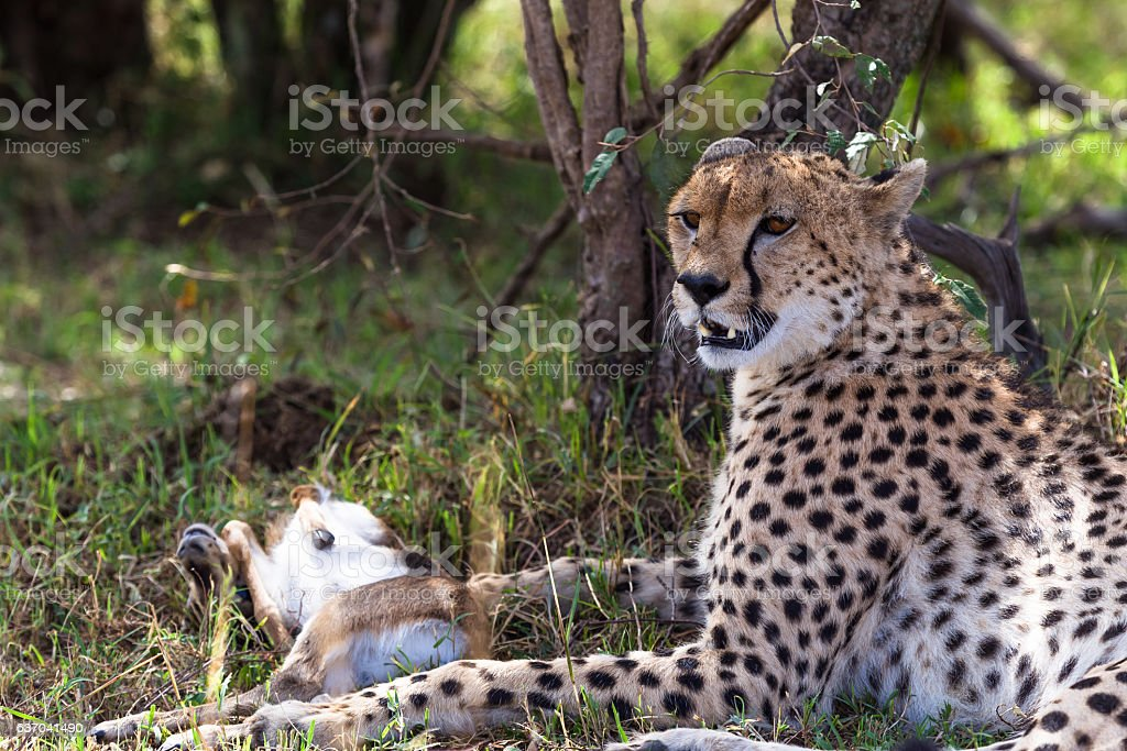 Cheetah with prey under tree. Masai Mara, Kenya stock photo