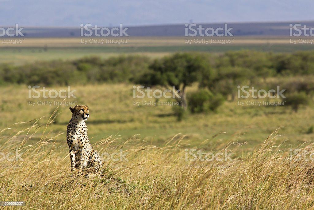 Cheetah with scenic backdrop stock photo
