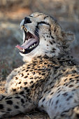 Cheetah hiding in long grass