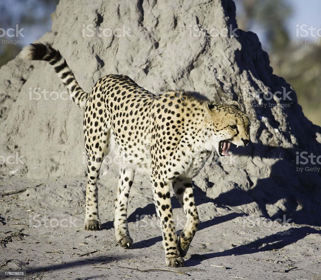 Cheetah Yawning royalty-free stock photo