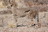 Ein gehendes  Löwenmännchen an einem Wasserlochim Etoscha National Park in Namibia