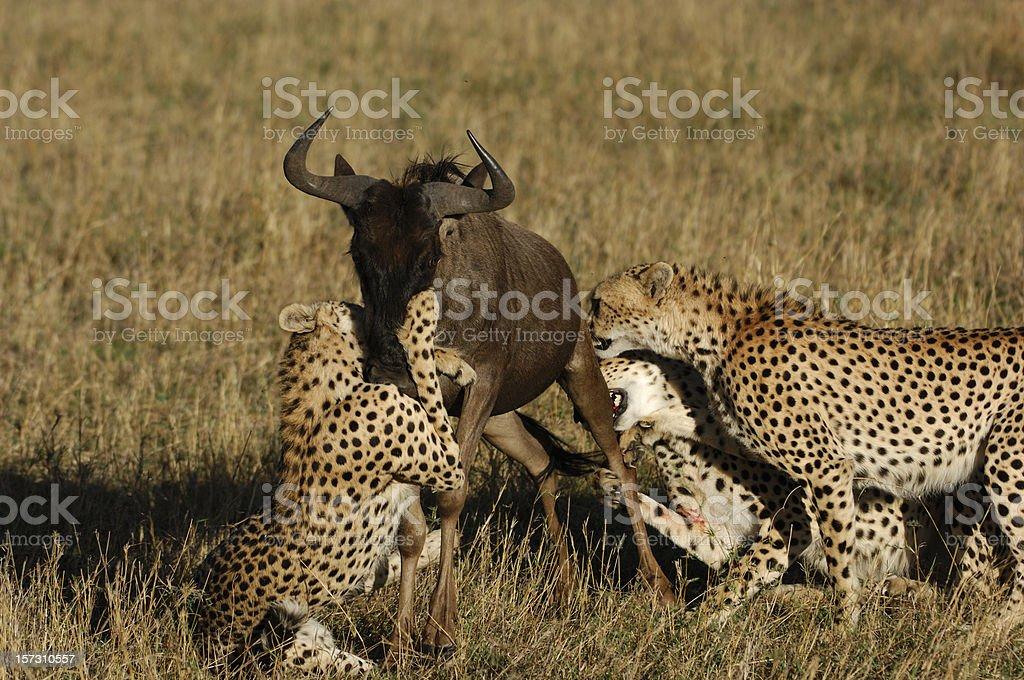 Cheetahs and Wildebeest Kill royalty-free stock photo