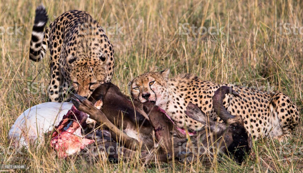 Cheetahs eating kill stock photo
