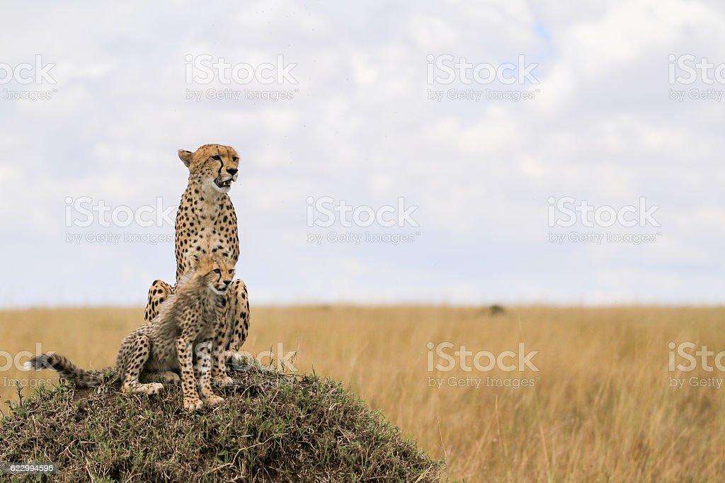 Cheetahs from Maasai Mara stock photo
