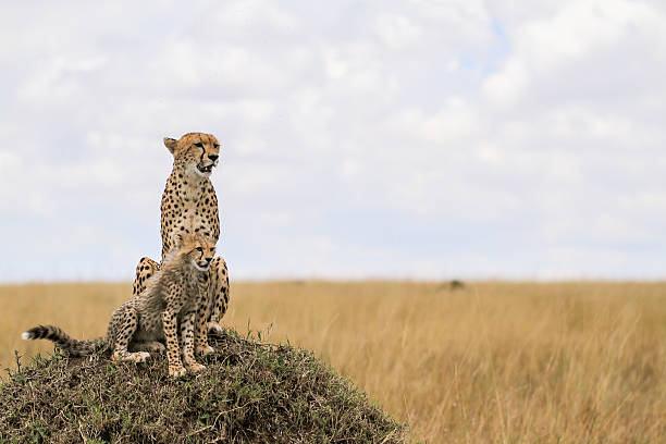 Cheetahs from Maasai Mara - Photo