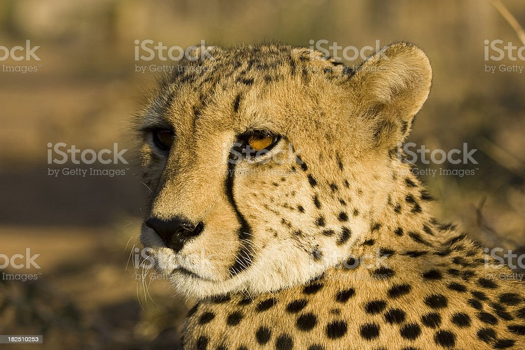 Cheetah's Gaze royalty-free stock photo