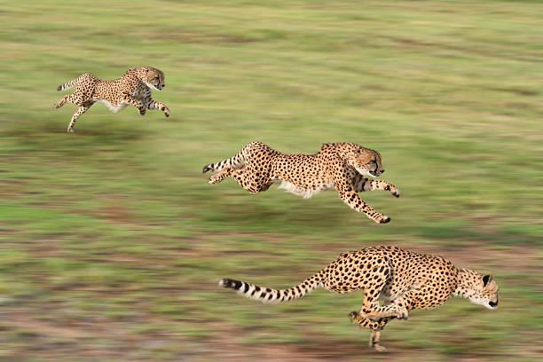 Caza Cheetahs - foto de stock