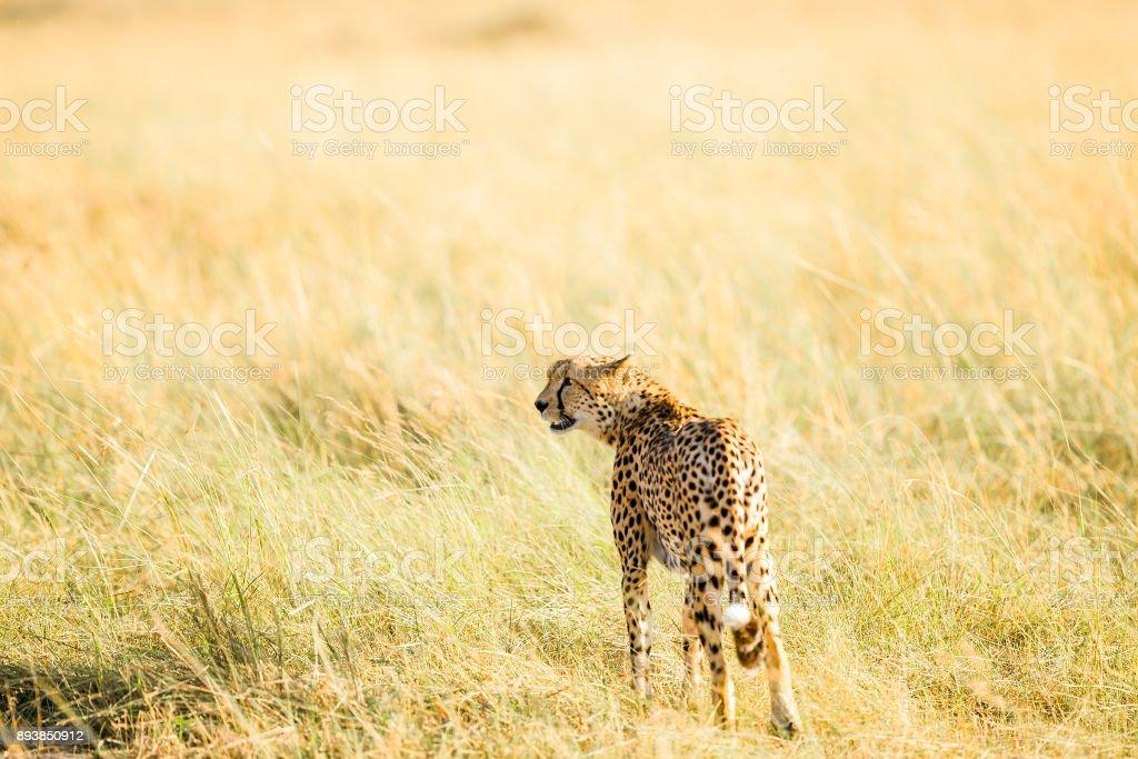 Cheetahs Hunting / preying stock photo