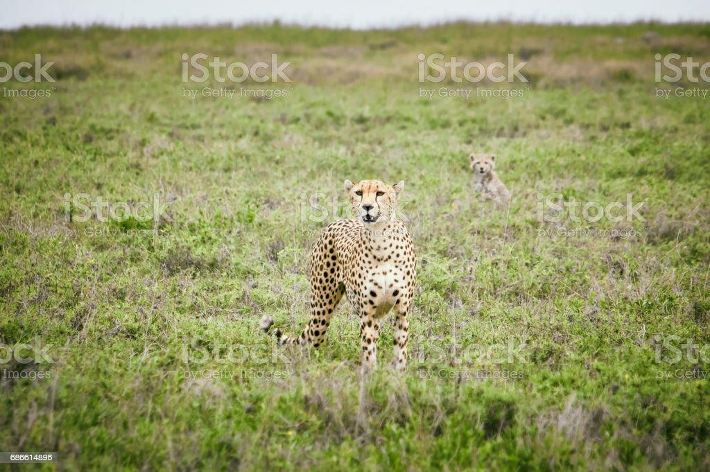 Cheetahs in african savanna royalty-free stock photo