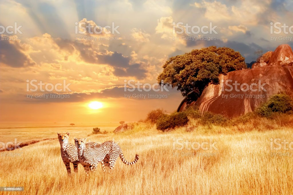 Cheetahs in the African savanna against the backdrop of beautiful sunset. Serengeti National Park. Tanzania. Africa stock photo