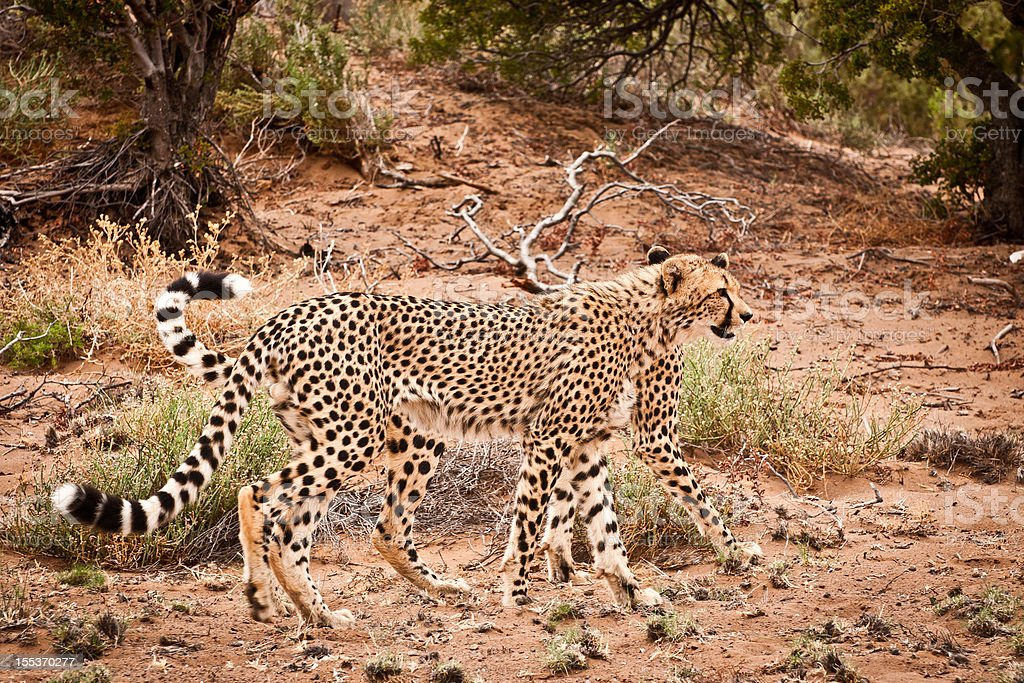 Cheetahs In the Wild on a Game Reserve royalty-free stock photo