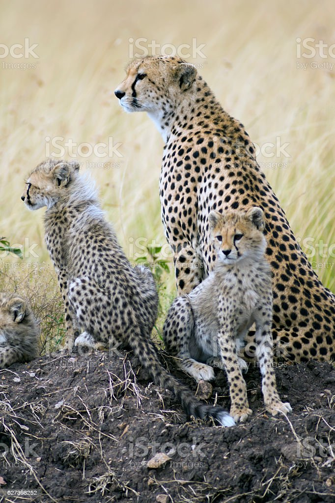 Cheetahs Looking Right stock photo