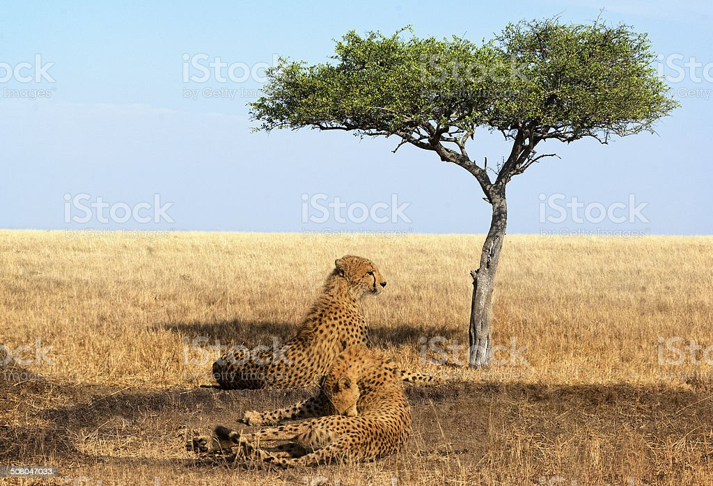 cheetahs of Masai Mara National Reserve stock photo