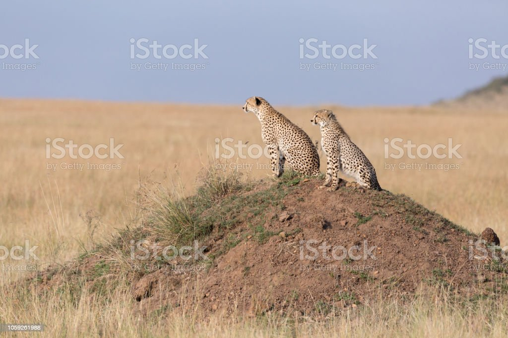 Cheetahs on a mound in Masai Mara stock photo