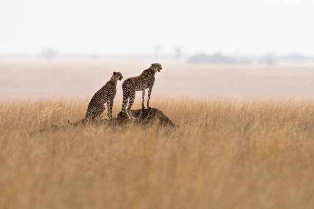 Guépards en état d'alerte, safari en Afrique - Photo