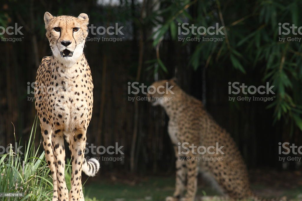 Cheetahs Cheetahs from Busch Gardens, Tampa FL Africa Stock Photo
