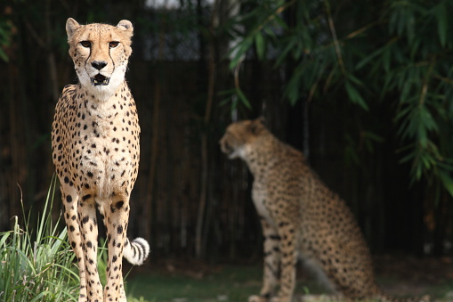 Cheetahs Stock Photo - Download Image Now