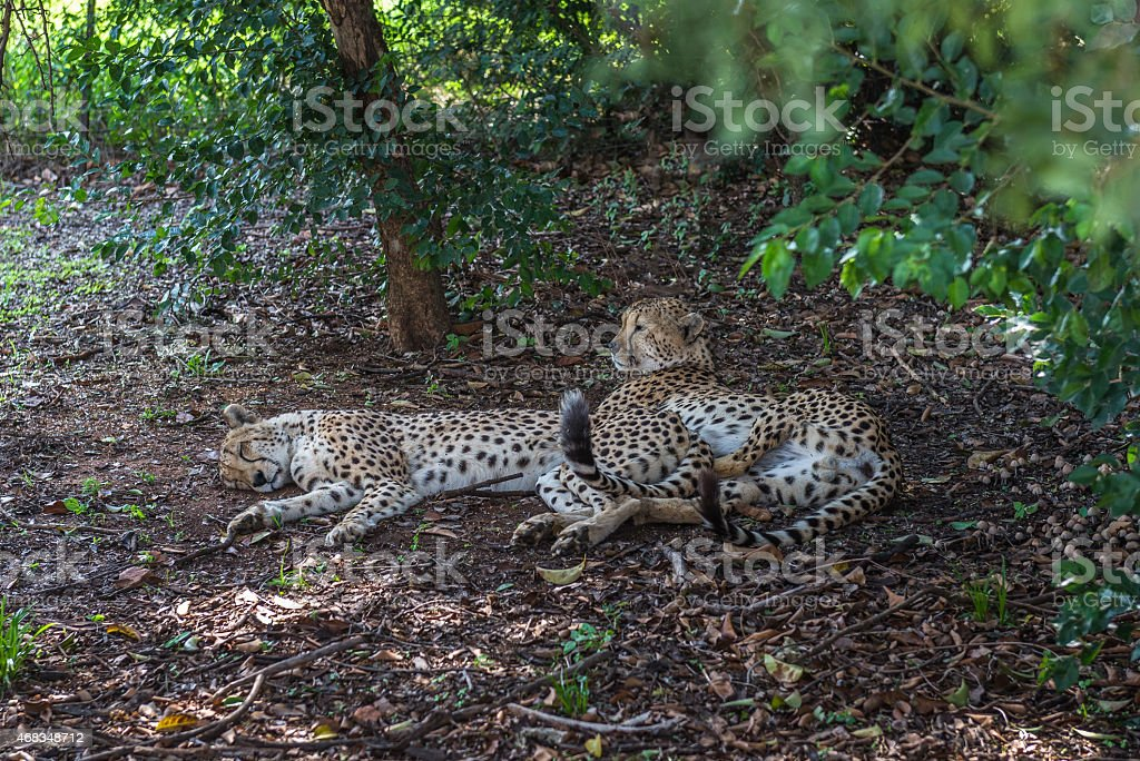Cheetahs.  South Africa. December 19, 2014 royalty-free stock photo