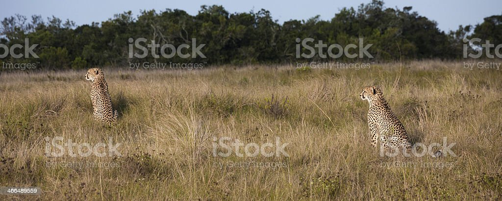 2 Cheetahs - South African Reserve stock photo
