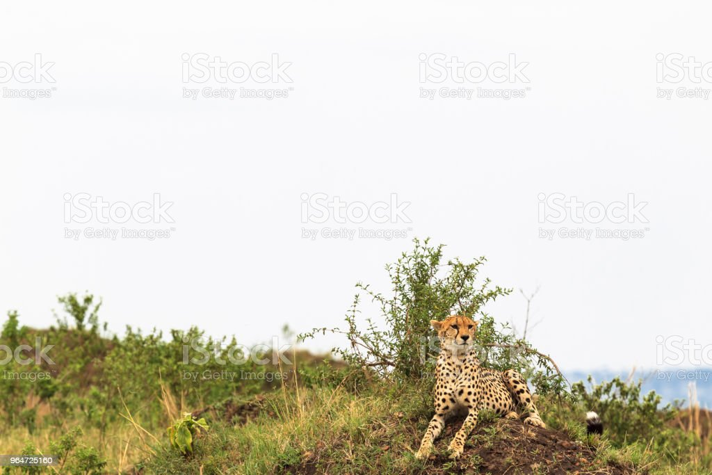 Cheetahs view  point in savanna. Masai Mara, Kenya royalty-free stock photo