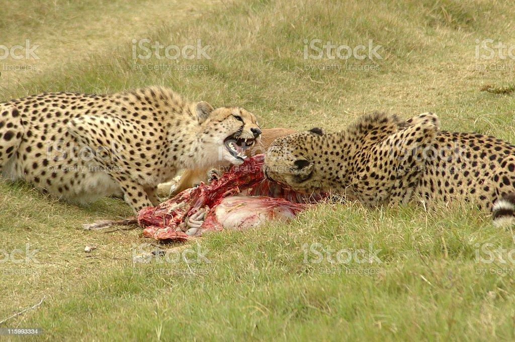 Cheetahs with kill royalty-free stock photo