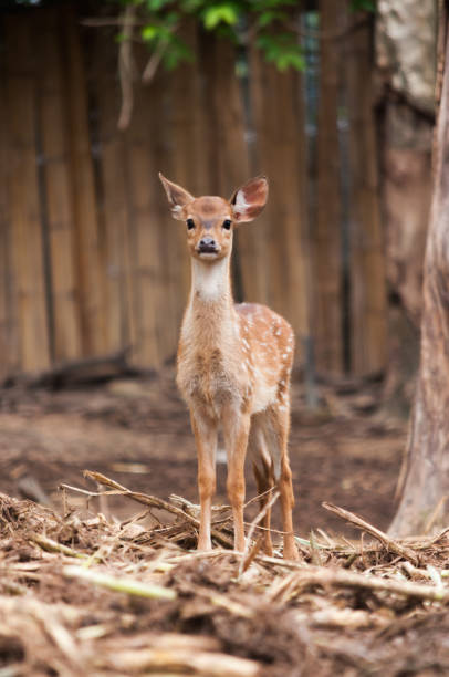 cheetal deer baby cheetal llooking for something to be careful. axis deer stock pictures, royalty-free photos & images