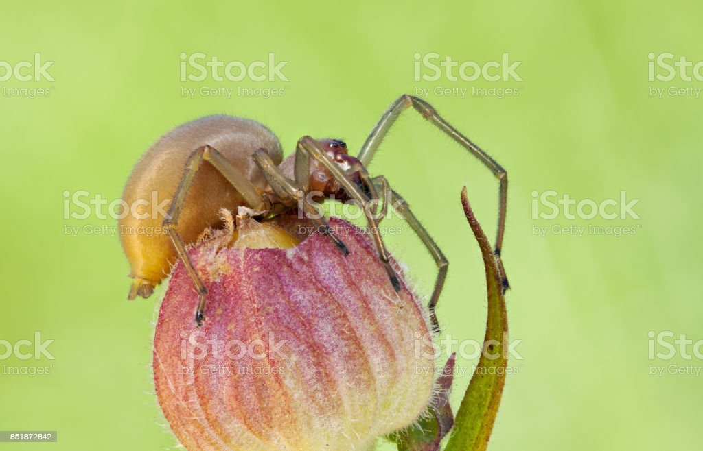 Cheiracanthium punctorium spider in nature close up stock photo