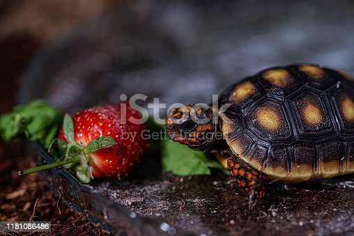Red Footed Tortoise eating strawberry