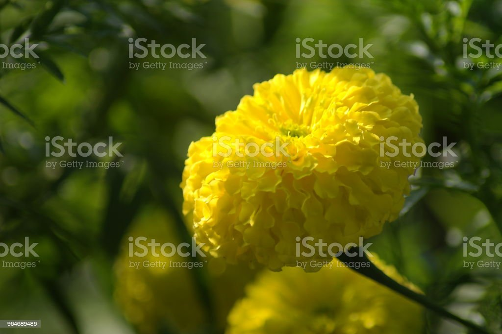 Chendumalli (Marigold) royalty-free stock photo