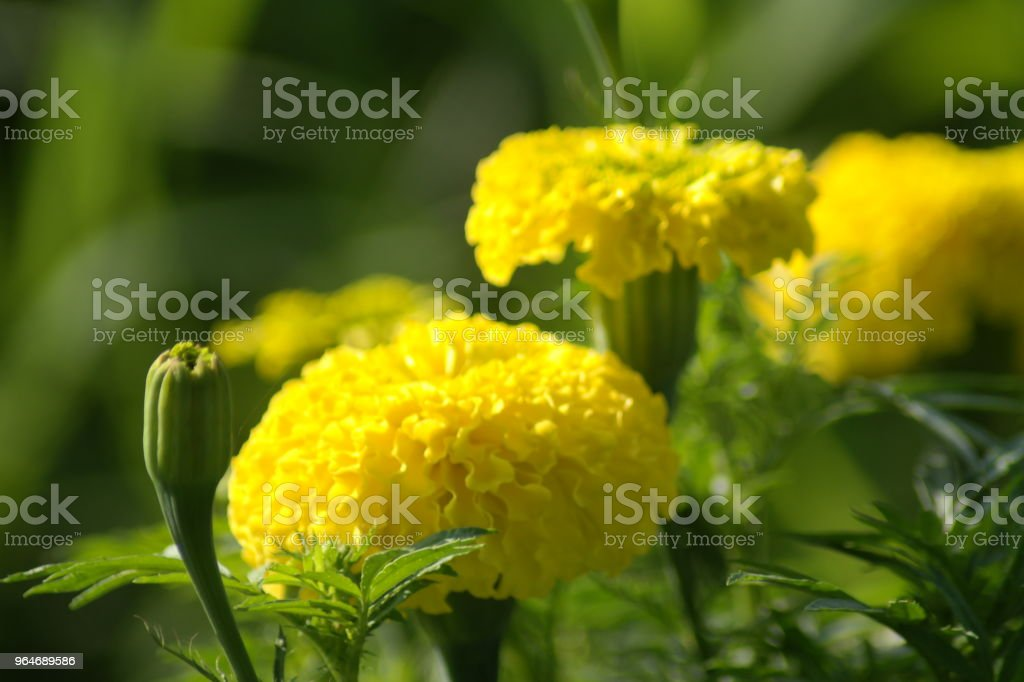 Chendumalli (Marigold) royalty-free stock photo